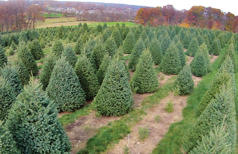 christmas tree types the christmas tree often becomes the center point of holiday celebrations check out our guide to choosing the best type of christmas - Best Christmas Tree Type